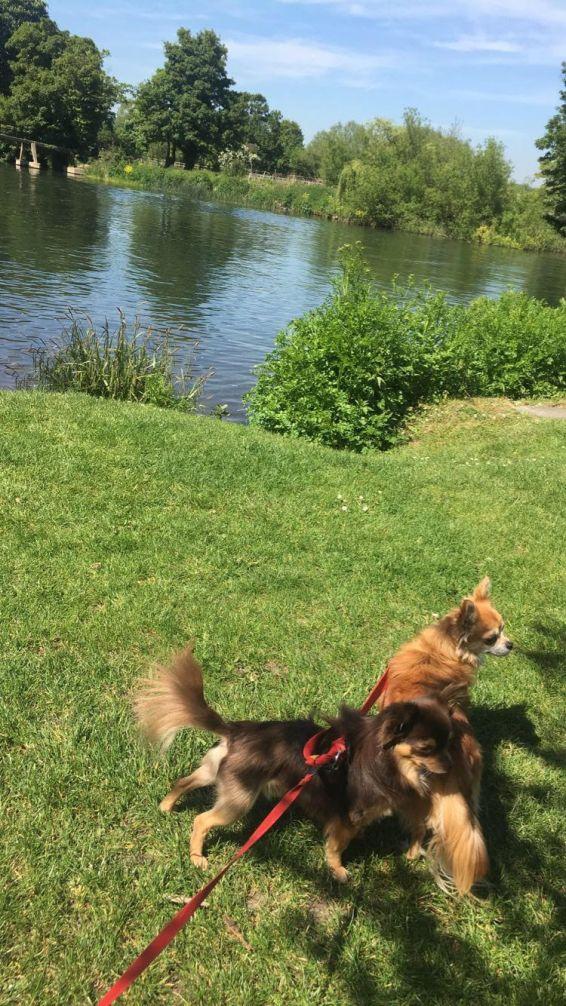sonning dog walk at 14 weeks
